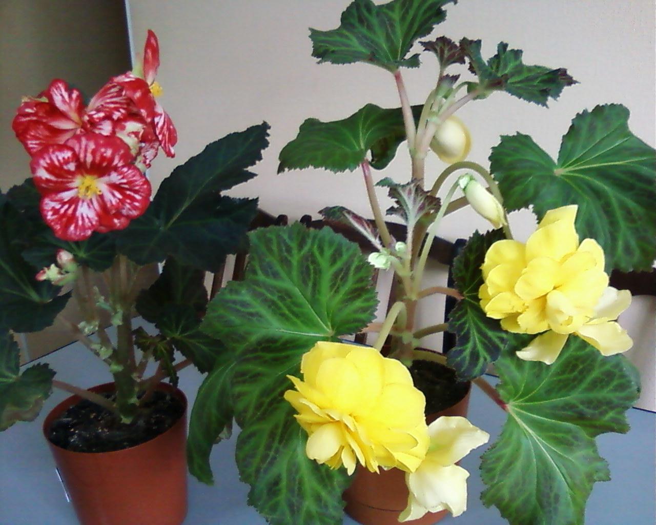 Комнатны цветы бегонии