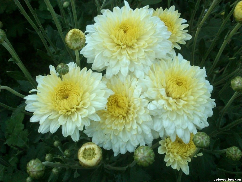 Цветы хризантема корейская