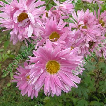 Где купить многолетники цветы хризантема купить живые цветы с доставкой в могилеве