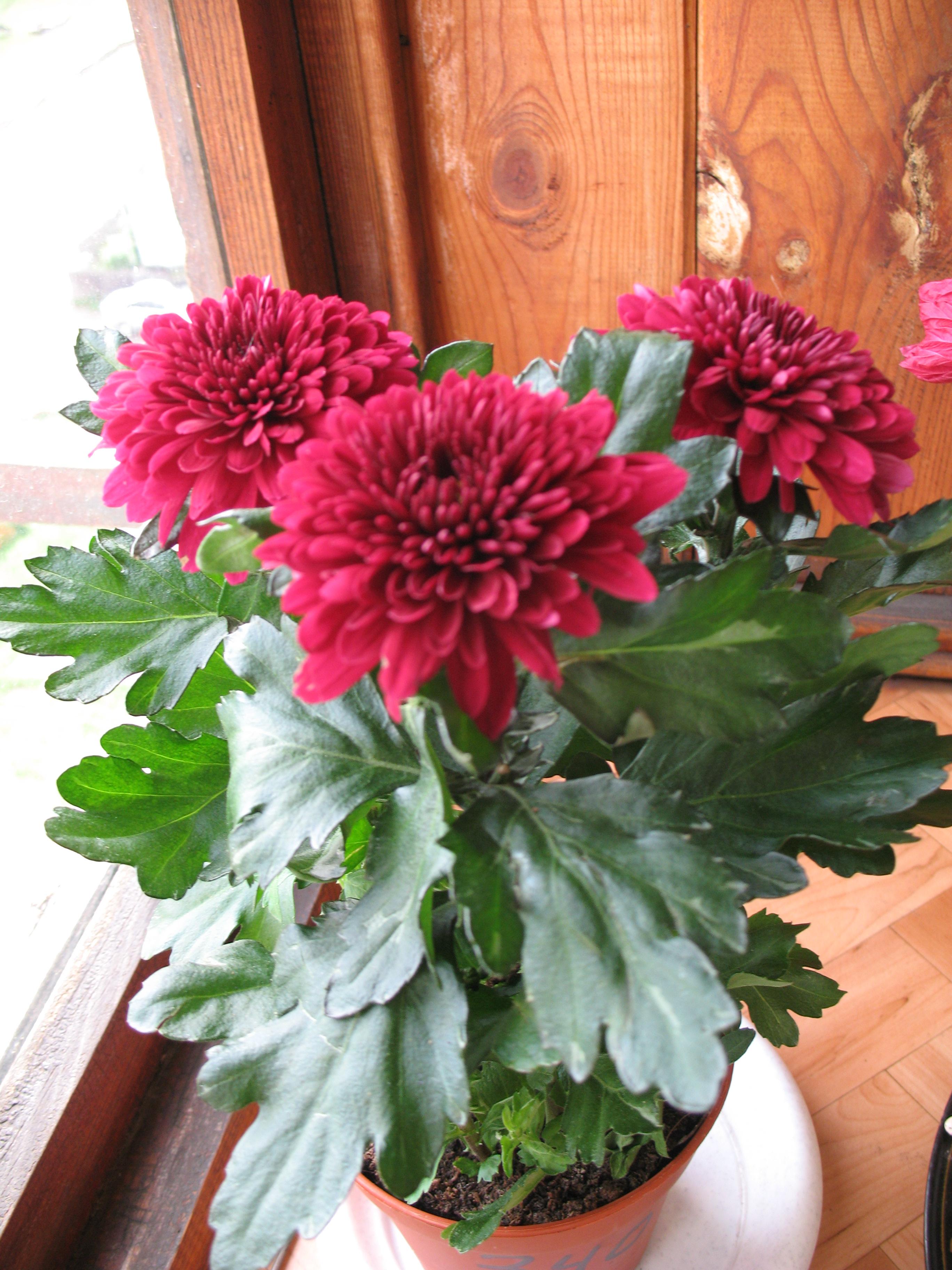Домашний цветок хризантема фото